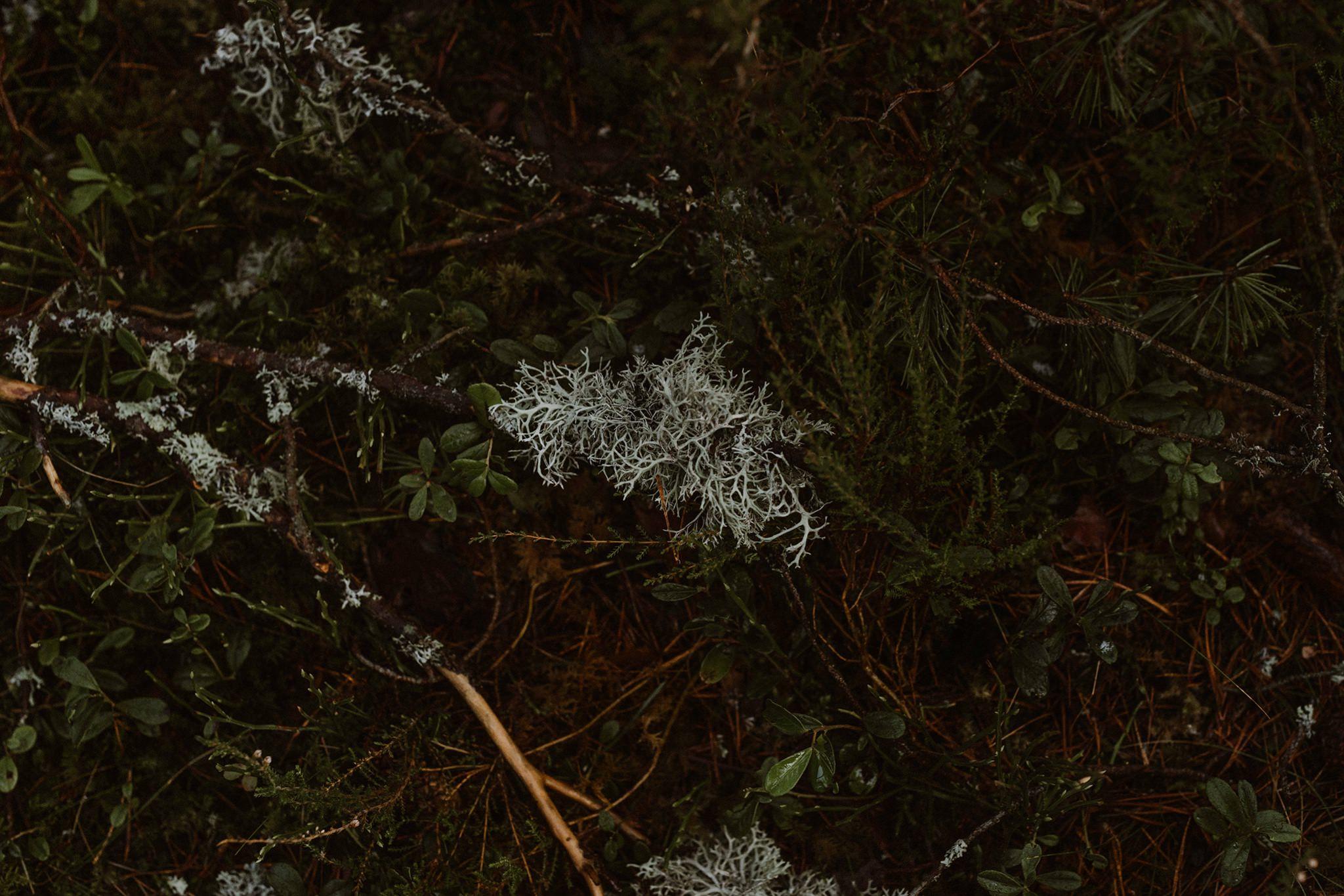 Usnea lichen at Rothiemurchus Cairngorms