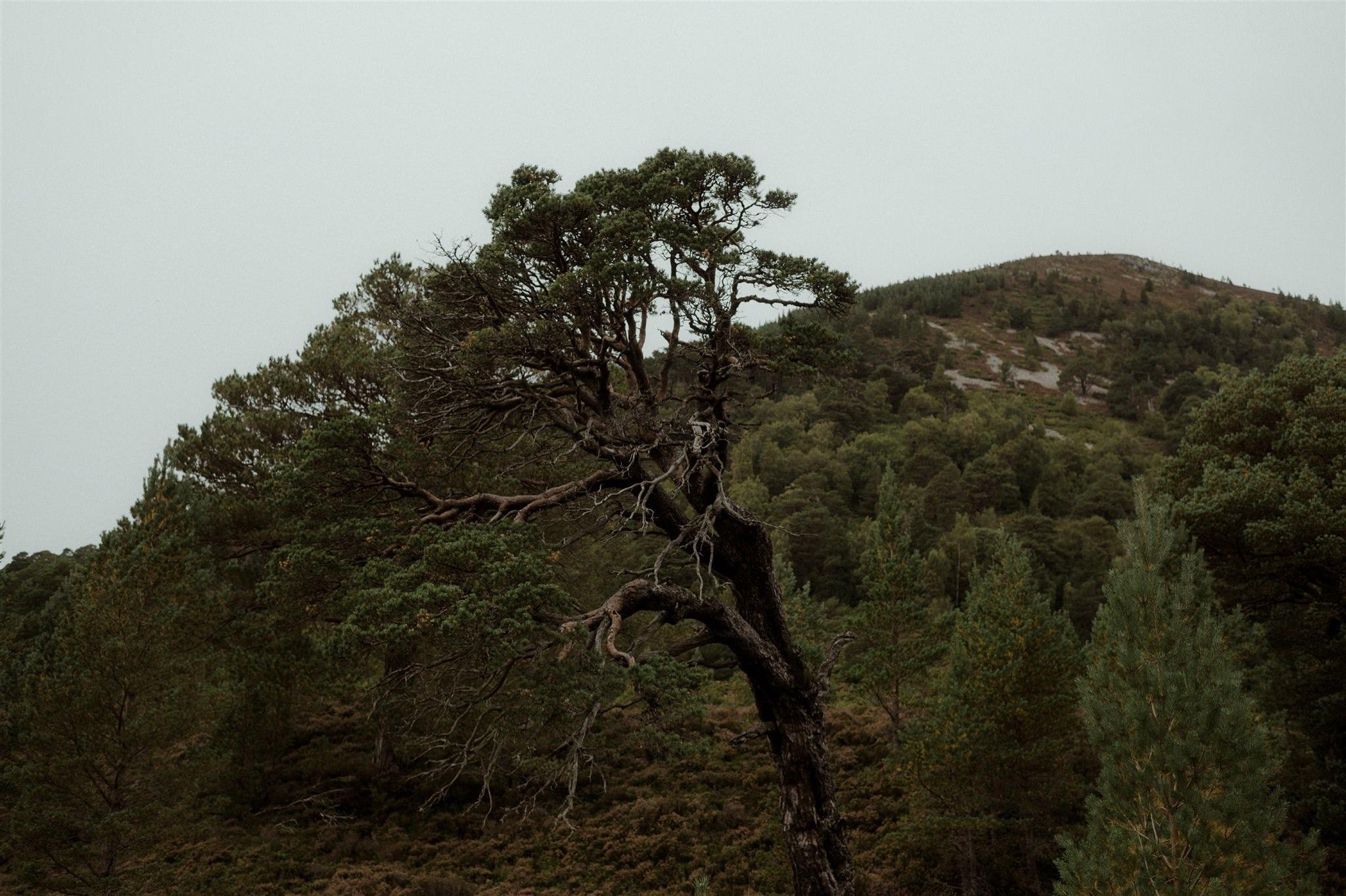 Trees in Glen More Scottish Highlands