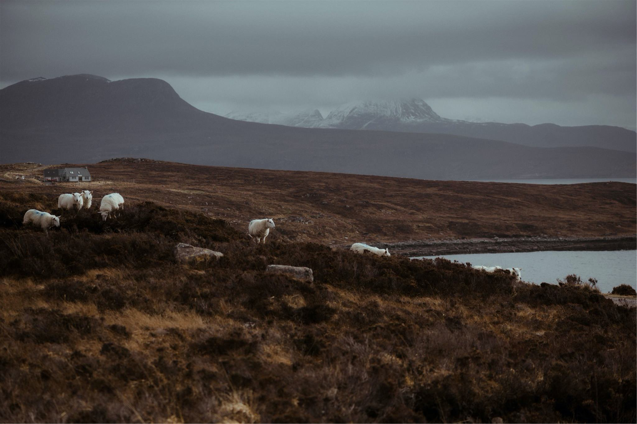Mountain view with sheep and cottage in Assynt, Scotland